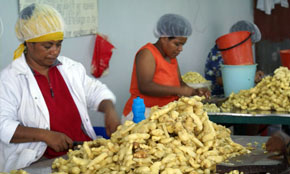 Dried Ginger Sorting